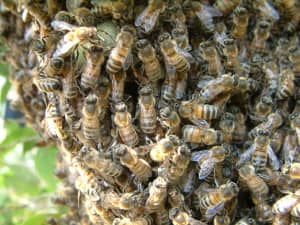 Bijennest verwijderen