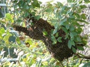Bijennest hangt aan boom